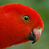Photo of a male King Parrot (Alisterus scapularis)