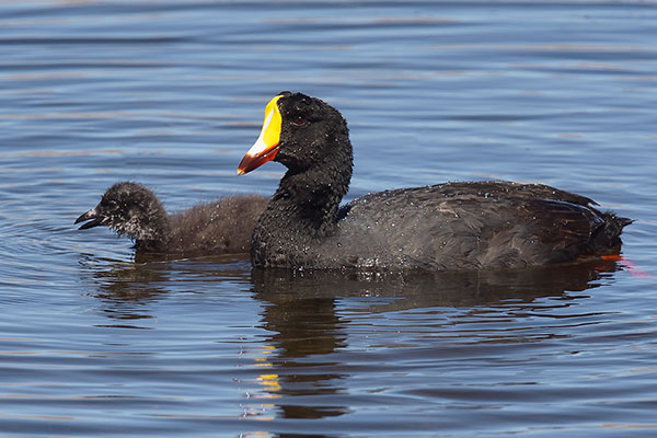 Giant Coot (Fulica gigantea) with chick
