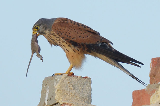 Common Kestrel (Falco tinnunculus) eating a rat