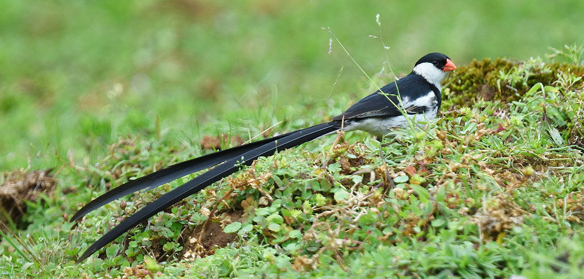Pin-tailed Whydah (Vidua macroura) in Harenna Forest
