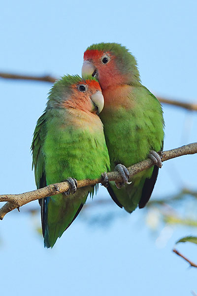 rosy-faced lovebird (Agapornis roseicollis) in the erongo mountains