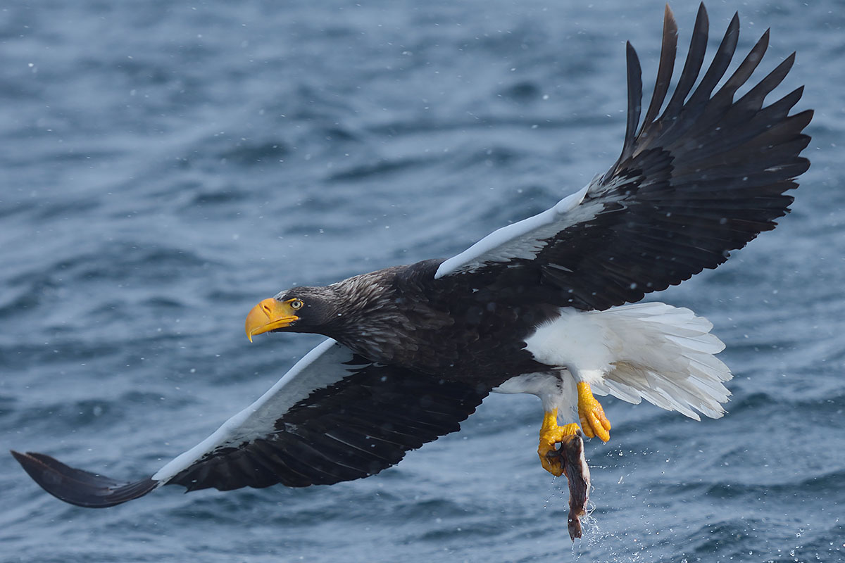 Steller's Sea Eagle (Haliaeetus pelagicus) with a fish