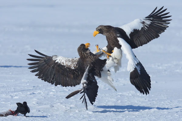 Steller's Sea Eagles (Haliaeetus pelagicus) fighting