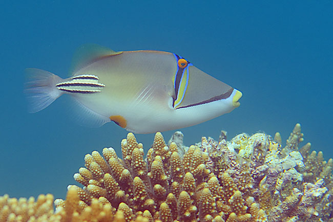Lagoon Triggerfish (Rhinecanthus aculeatus) in the Red Sea