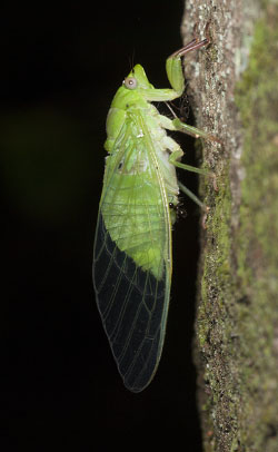 Adult cicada on a tree trunk