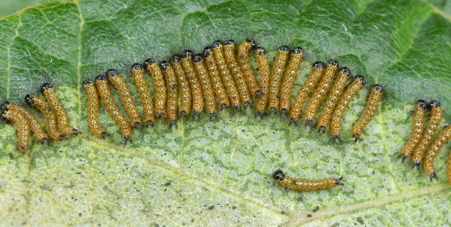 Buff-tip caterpillars (Phalera bucephala) feeding in a group