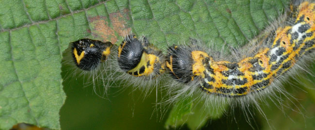 Buff-tip caterpillars (Phalera bucephala) feeding together