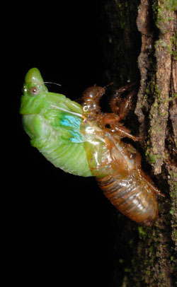 Cicada starting to emerge from the nymph