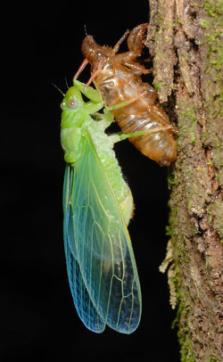 Cicada drying it's wings