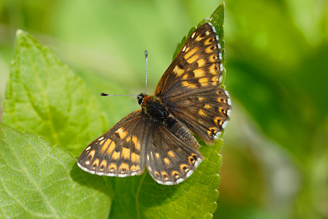 Duke of Burgundy butterfly (Hamearis lucina) on Hoar Hill Nature Reserve, Hampshire, England