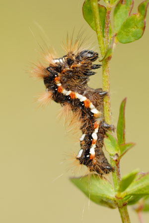 Knot Grass (Acronicta rumicis) at Parc Slip Nature Reserve