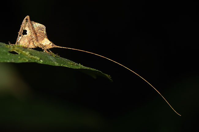 Long-horned Leaf-cricket (Tettigoniid sp.)