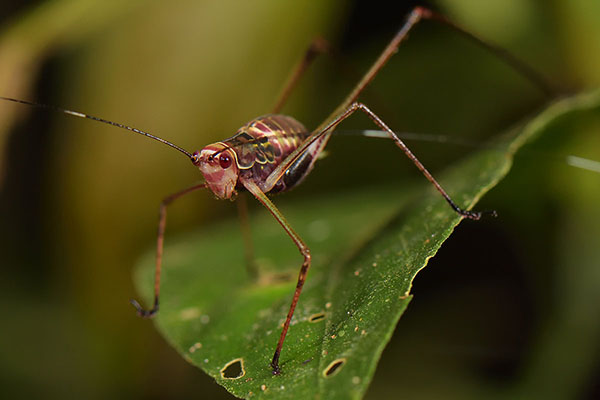 Pink Cricket (Tettigoniid sp.)