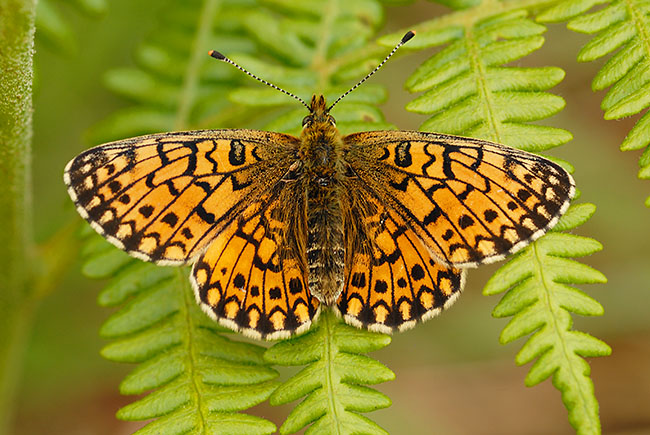 Small Pearl-bordered Fritillary with open wings