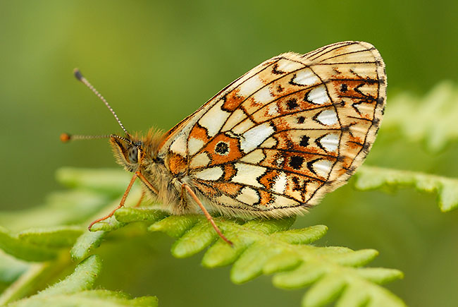 Small Pearl-bordered Fritillary roosting