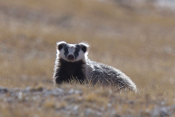 Asian Badger (Meles leucurus)