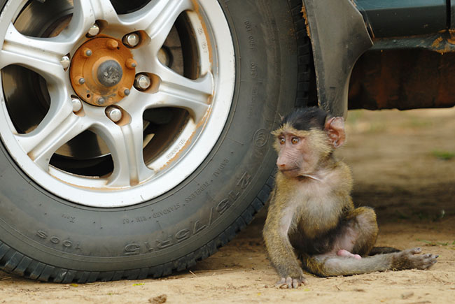 Baby Olive Baboon relaxing beside a truck