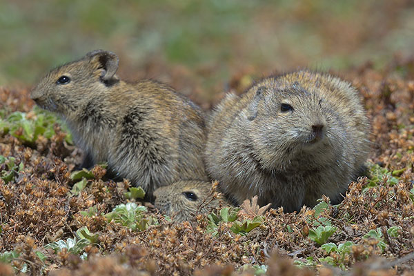 Blick's Grass Rat family (Arvicanthis blicki) in the Bale Mountains