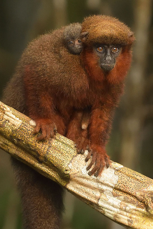 Brown Titi Monkey (Callicebus brunneus ) and baby
