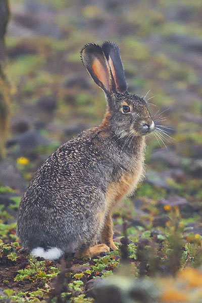 Ethiopian Highland Hare (Lepus starcki) in the Bale Mountains