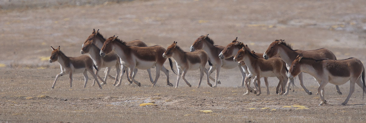 Herd of Kiang(Equus kiang)