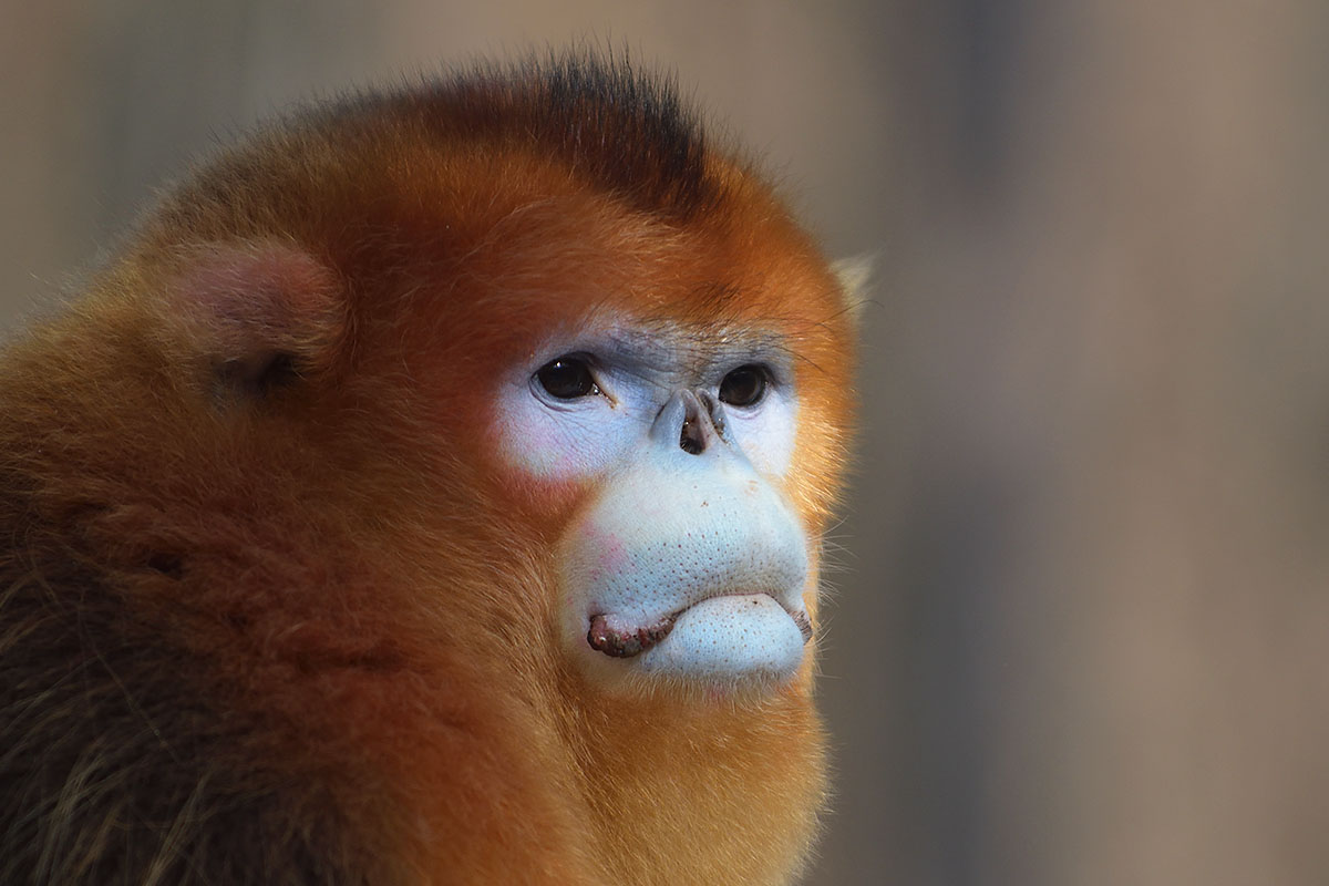 Male Golden Snub-nosed Monkey (Rhinopithecus roxellana)