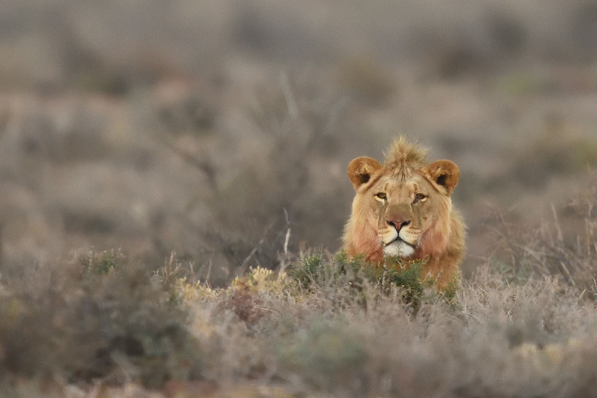 Male lion (Panthera leo) in Karoo National Park
