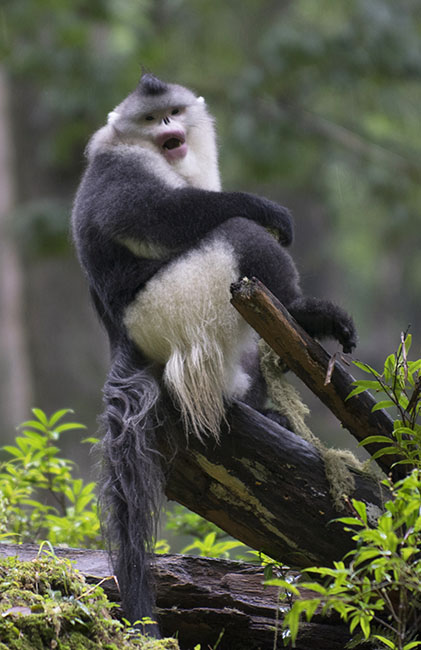 Male Black Snub-nosed Monkey (Rhinopithecus bieti) in Yunan Province, China