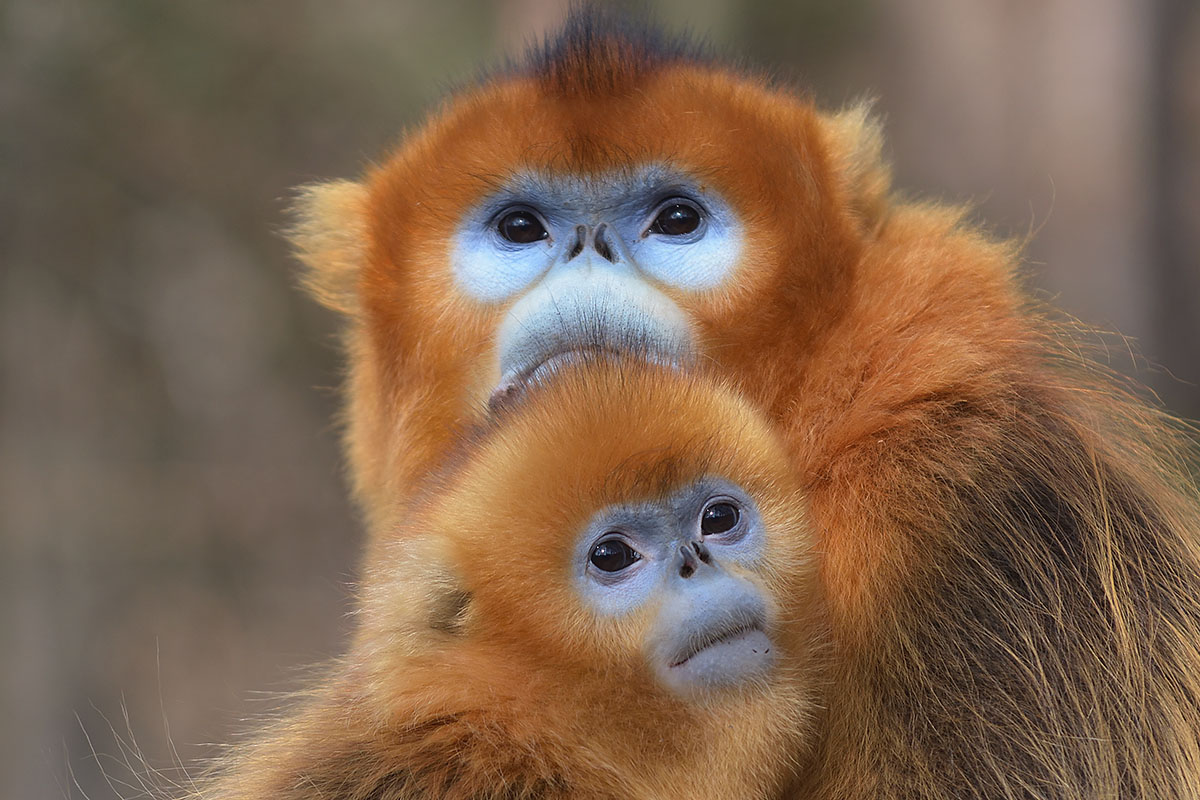 Golden Snub-nosed Monkey mother and young (Rhinopithecus roxellana)