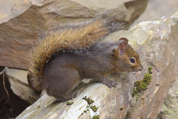 Pere David's Rock Squirrel (Sciurotamias davidianus)
