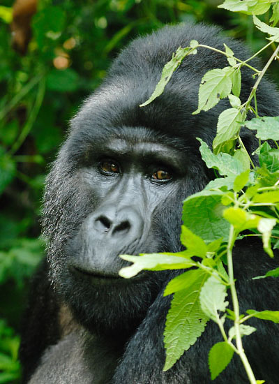 Silverback Mountain Gorilla in Bwindi Impenetrable Forest