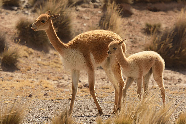 Vicuna (Vicugna vicugna) mother and baby