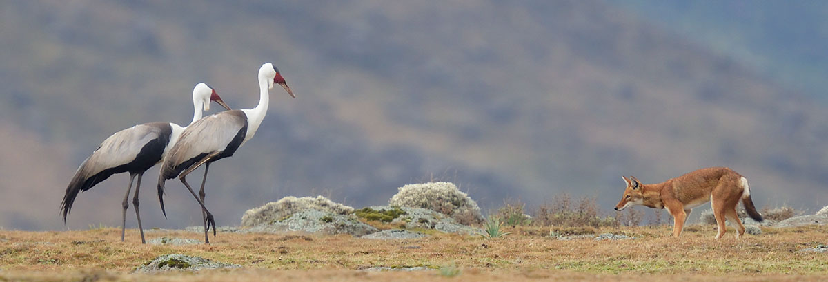 Wattled Cranes and Ethiopian Wolf in the Bale Mountains