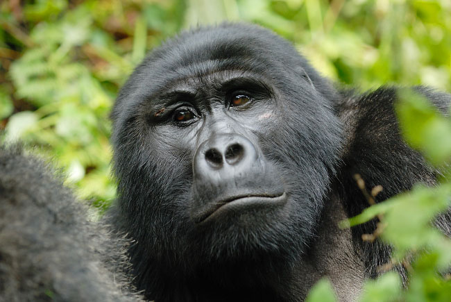 Young male Mountain Gorilla in Bwindi Impenetrable Forest