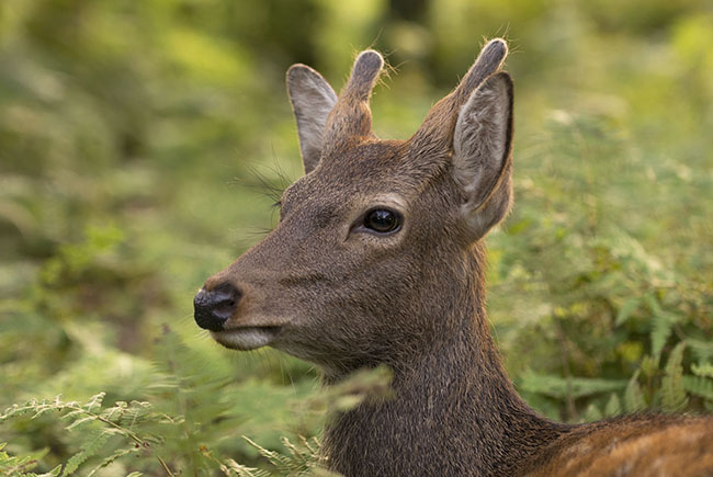 Young Sika Deer buck (Cervus nippon) in Nara Park, Japan