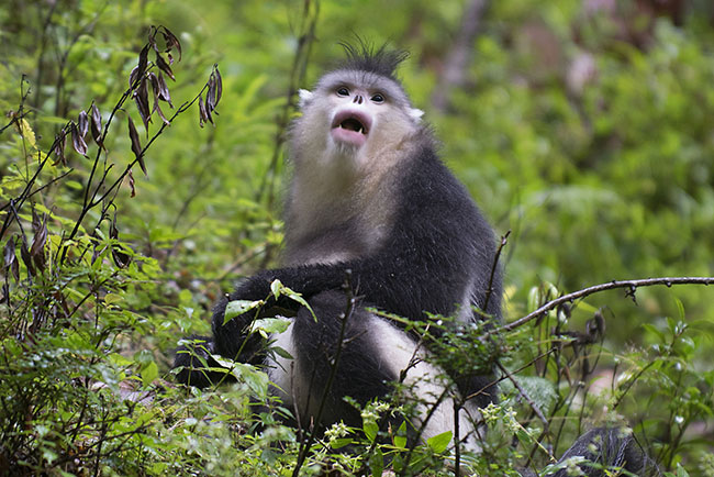 Young Snub-nosed Monkey (Rhinopithecus bieti)