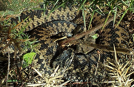 Adder (Vipera berus) basking on a Gower cliff, south Wales