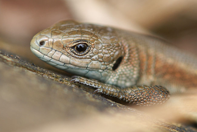 Young Common Lizard (Zootoca vivipara) at Parc Slip Nature Reserve